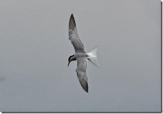 11 tern