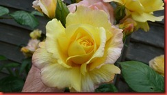 rose edged yellow bud
