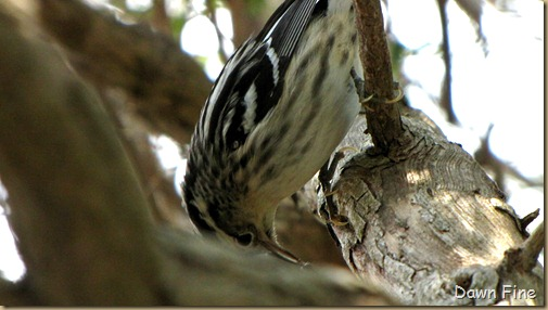 Black and white warbler (2)
