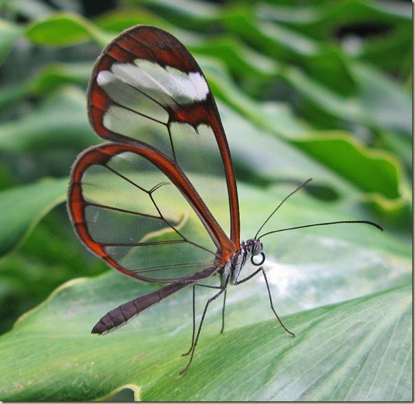 Greta oto un papillon transparent (14)