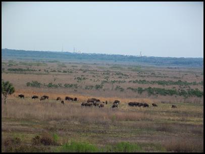 Buffalo, horses & deer 003