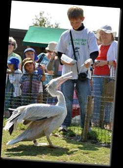 Lachlan feeding Pelicans DSC_0351