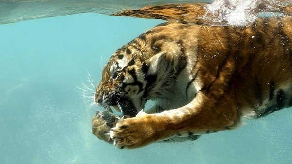 9- Tigres podem caçar na água