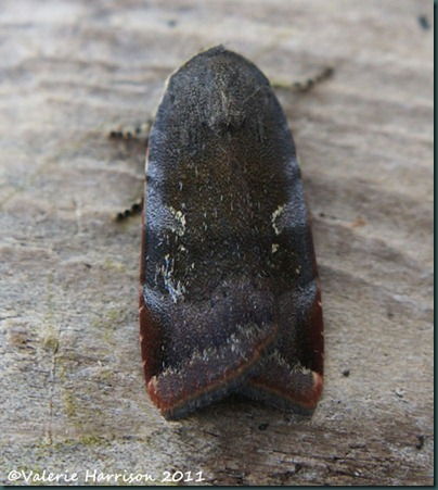 lesser-broad-bordered-yellow-underwing