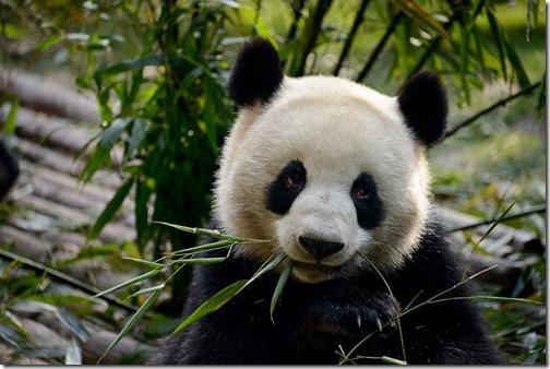 DSC_7121LR_Pandas