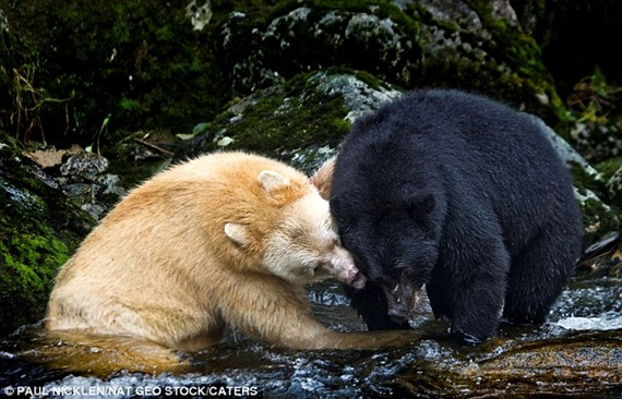 The spirit bear comes into contact with another forest bear, , which is a more traditional black colour