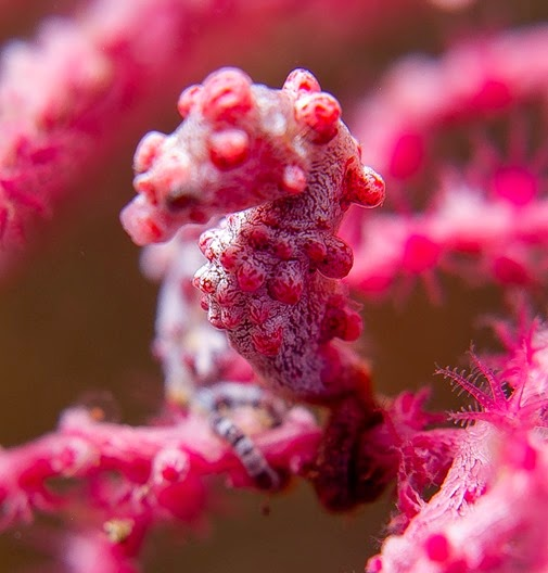 Amazing Pictures of Animals, Photo, Nature, Incredibel, Funny, Zoo, Pygmy seahorse,  Syngnathidae ,Alex (27)