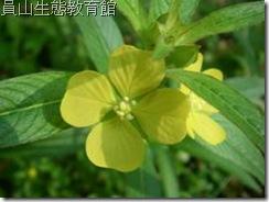 花朵大大的水丁香