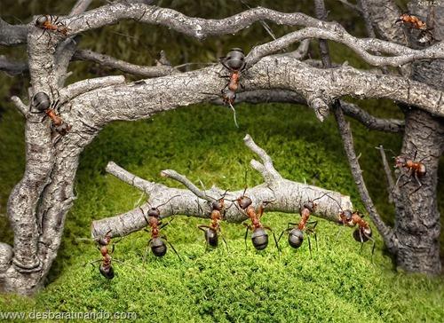 formigas inacreditaveis incriveis desbaratinando  (64)