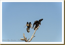 Crested Caracara (Caracara cheriway) and Turkey Vulture (Cathartes aura)