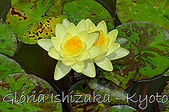 Glória Ishizaka - Ninféia -  Kyoto Botanical Garden 2012 - 2