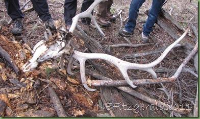 ElkSkullWith Antlers