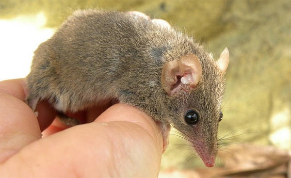 8- O rato-marsupial-australiano