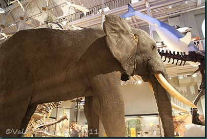 17-elephant