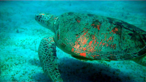 A green sea turtle in the Perhentian Islands.
