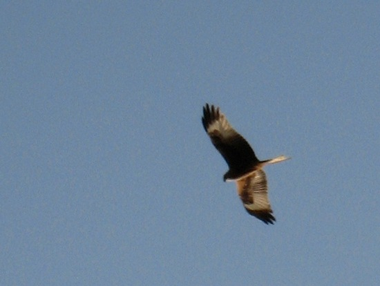 Red Kite 2: Windsor Great Park