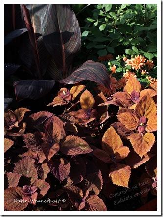 Höstfärgerpåbladväxter