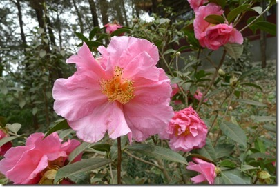Camellia japonica 茶花, icon of Kunming