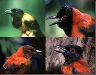 Amazing Pictures of Animals Pitohui Poisonous Bird. Alex (1)