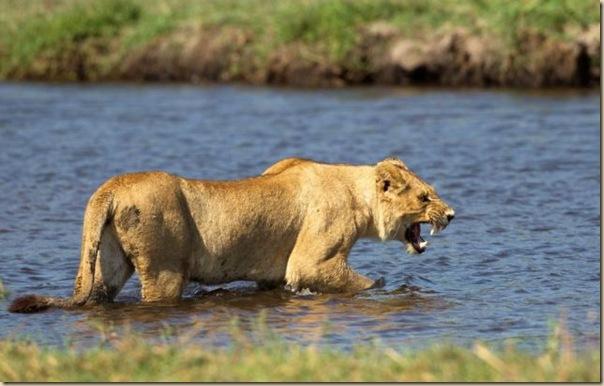 Le courage exeptionnel d'une lionne (2)