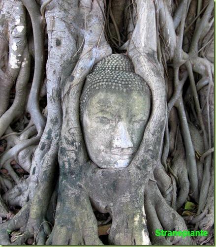 buddha thailandia ficus