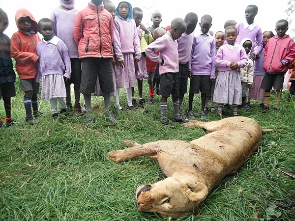 This lioness was killed on 20 June 2012, along with her sister and four cubs in Sholinge, Kenya, just outside Nairobi National Park. The lionesses had gone into a cattle area to teach the cubs to hunt. Nickson Parmisa / Wildlife Direct