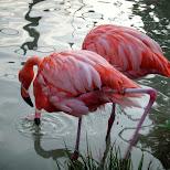 flamingos at ueno zoo in Ueno, Tokyo, Japan