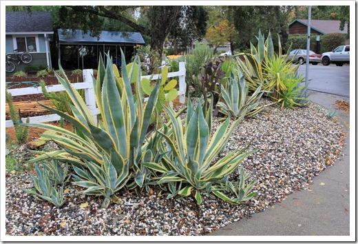 121202_Davis_succulent_garden15