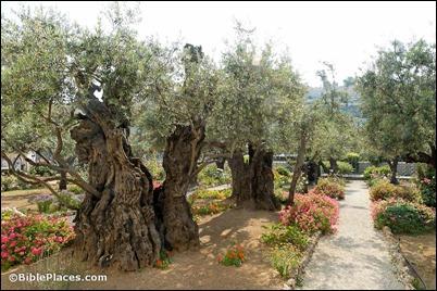 Garden of Gethsemane olive trees, tb051906423