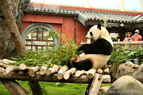 hong kong, ocean park, family, love, giant panda, panda, bamboo, panda eating
