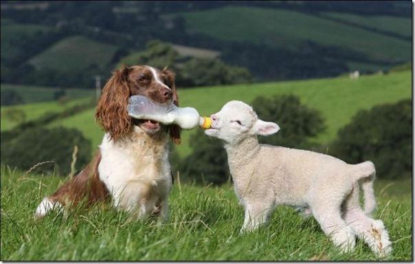 Cachorro alimentando um cordeiro (1)