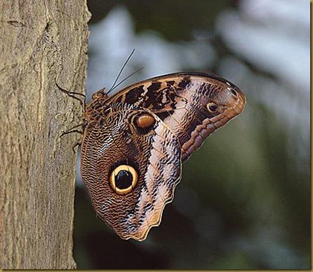 mariposa ojo de buho