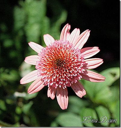RT_Echinacea