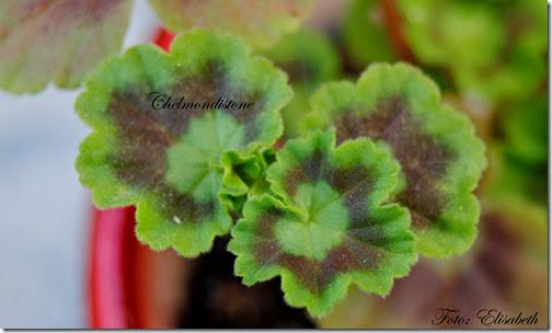 Pelargonium 16 juni -14 048