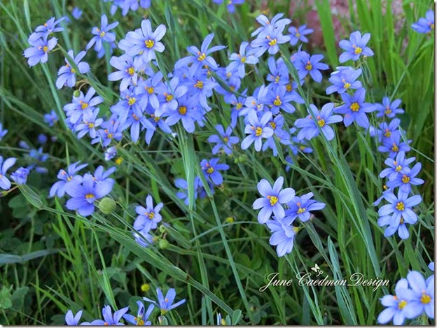 BlueFlowers2