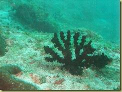 Asparagus Coral