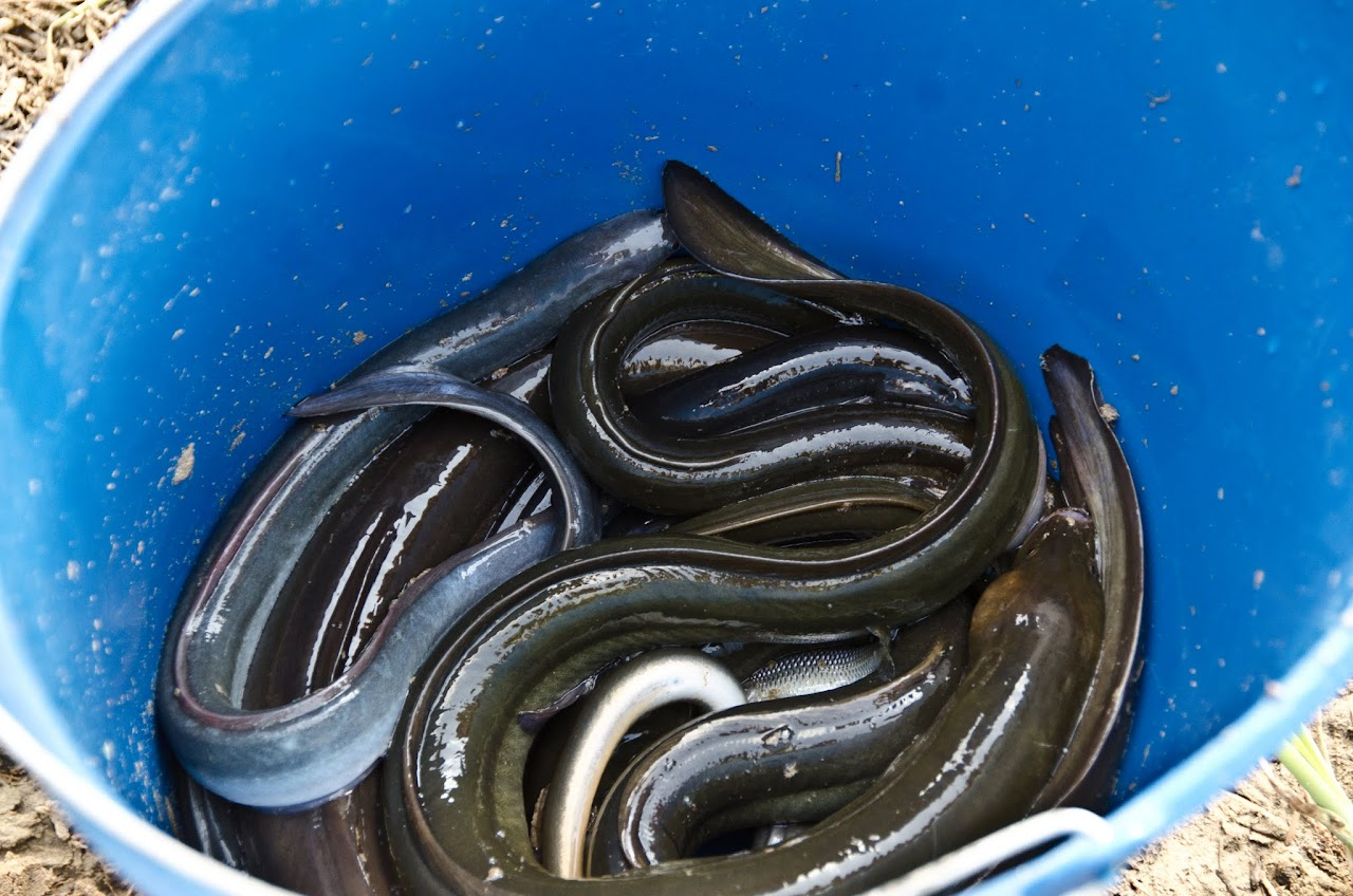 Eels in a bucket