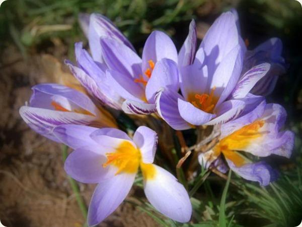 basilicata fiore3