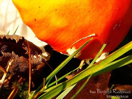 macro_20111023_flugsvamp