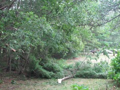 2011 Hurricane Irene downed pine branches3