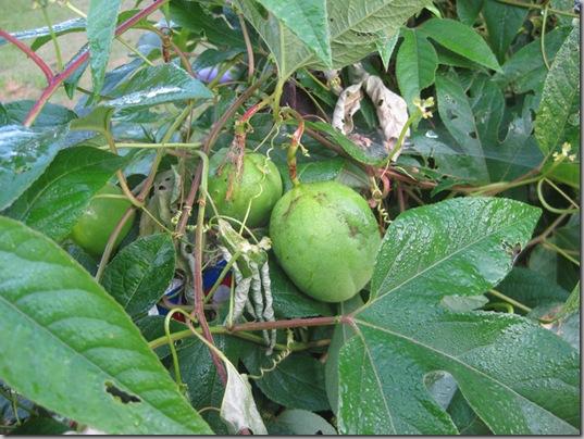 passionfruit 001