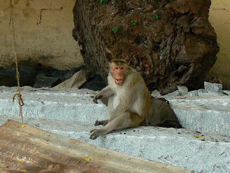 Monkey in Madurai Temple of Tamil Nadu