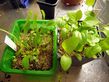 006 Echinacea purpurea frösådd Echinacea pallida frösådd Daniel Grankvist