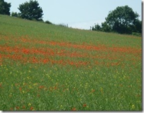poppy-field-near-polesworth_thumb