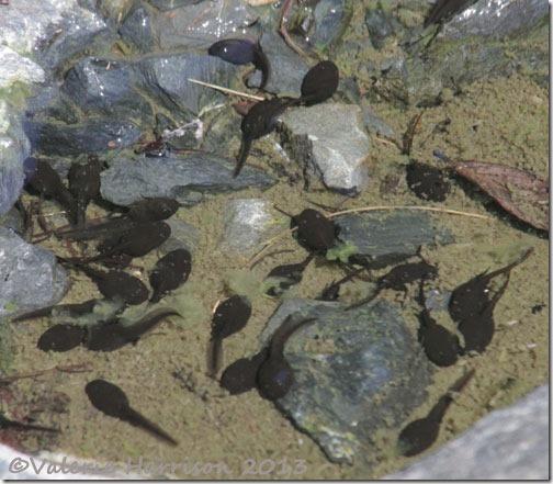 26-tadpoles