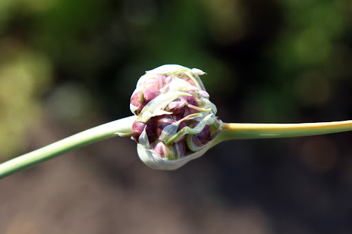 The garlic flowers will blossom into large pinkish purple globes, but they can be enjoyed in the budding stage for their mild garlicky flavor.