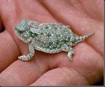 Amazing Pictures of Animals, photo, Nature, exotic, funny, incredibel Zoo, Horned lizard, Phrynosoma, Reptilia, Alex (9)