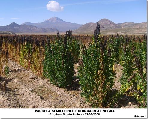 Parcela semillera de Quinua Real Negra-Altiplano Sur de Boliva-G. Vásquez-Laquinua.blogspot.com