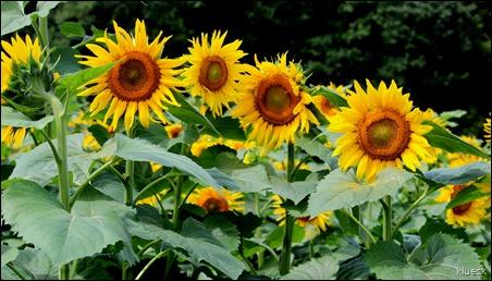 Burts Farm sunflowers, Dawsonville, GA