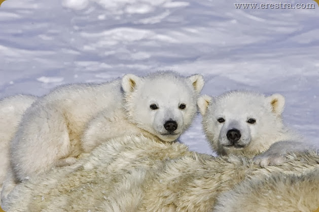 Polar Bear<br />Ursus maritimus<br />3-4 month old triplet cubs on top of their mother after mother is anesthetized by polar bear biologists <br />Wapusk National Park, Canada<br />*Digitally removed piece of dart in foregound<br />